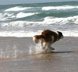 Chien qui coure sur la plage